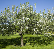 Apple garden in blossom Royalty Free Stock Photography
