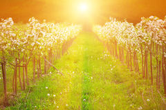 Apple garden in blossom in sunrise Stock Images