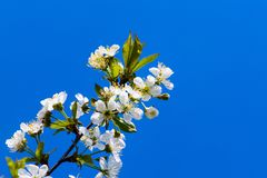 Apple garden, blossom on tree, spring time. Background, beautiful, beauty, bloom, blooming, blossoming, blossoms, blue, botany, branch, bright, bud, cherry royalty free stock photo