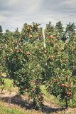 Apple garden full of riped red fruits Royalty Free Stock Photos