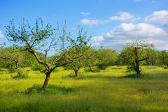Apple garden. With green grass on a background of blue sky Stock Image
