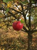 Apple. Garden red autumn trees Stock Photo