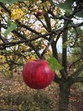 Apple. Garden red autumn trees Royalty Free Stock Image