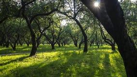 Apple garden in sunlight. In summer Royalty Free Stock Photos