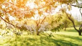 Apple garden in warm sunset light Royalty Free Stock Photo