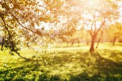 Apple garden in warm sunset light Stock Images