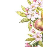 Apple gestalten botanische Illustration Kartendesign mit Apfelblumen und -blatt Botanische Illustration des Aquarells lokalisiert Lizenzfreies Stockbild