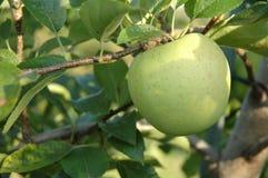 Apple 'golden delicious' en árbol Imágenes de archivo libres de regalías