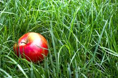 Apple in the grass and dew drops Stock Images