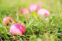 Apple in the grass and dew drops Royalty Free Stock Photos