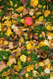 Apple on grass and dried leaves Royalty Free Stock Photo