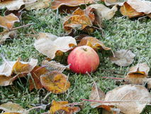 Apple on grass Royalty Free Stock Photo
