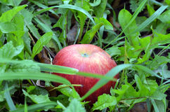 Apple in the grass. Ripe red apple in green grass Stock Images