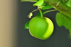 Apple, Green Apple, Tree Royalty Free Stock Images