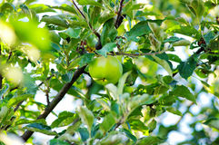 Apple of green on branch. Royalty Free Stock Images