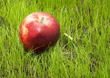 Apple on green grass. Red apple on green grass Stock Photo