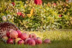Apple on green grass. Some beautiful bright red and yellow fresh apples on green grass, fall from the wooden basket, natural colorful background, autumn's stock photo