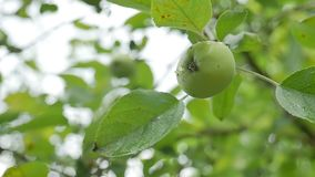 Apple green hanging on a tree, dew water drops slow motion video stock video footage