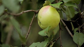 Apple and green leaves stock video footage