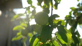 The apple green tree morning sunlight garden agriculture slow motion video. Apple green tree morning sunlight garden agriculture slow motion video stock video footage
