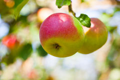 Apple groeit op boom Stock Foto's