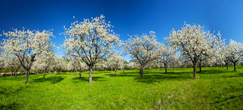 Apple groove. Apple Orchard in the middle of the spring season. Panoramic photo Stock Photography
