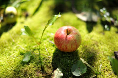 Apple. In the ground. Summer time Stock Photography