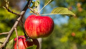 Apple growing on a branch. Tree branch with big red apple Stock Photography