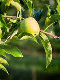 Apple Growing on a Branch Royalty Free Stock Photography