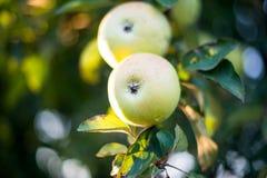 Apple growing Royalty Free Stock Photo