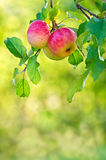 Apples growing on a tree branch. Apple fruits growing on an apple tree branch. Natural green and yellow background Royalty Free Stock Photography