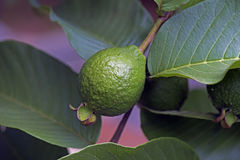 Apple guava, fruit native to the Americas Stock Photography