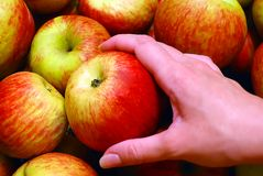 Apple in Hand. Female Hand Holding Apple on Heap of Apples Background Stock Photo
