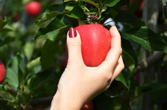 Apple in the hand Stock Photos