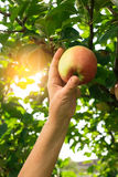 Apple and hand of woman. Stock Photography