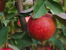 An apple hanging on a branch. A red apple, branch and leafs of the apple tree can be seen Stock Photos