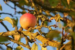 Apple hanging from tree Royalty Free Stock Images