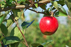 Apple hanging from a tree. Stock Photo