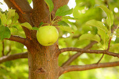 Apple hanging from a tree Royalty Free Stock Image