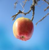 Apple hanging on a tree branch Royalty Free Stock Photo
