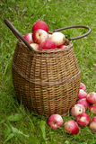 Apple harvest. Fresh red picked apples in bushel basket on grass Royalty Free Stock Photos