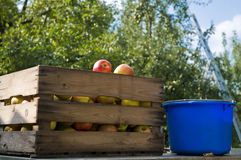 Apple harvest Royalty Free Stock Images