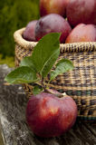 Apple Harvest Stock Photography