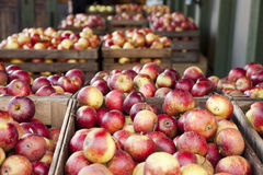 Apple Harvest. Crop of red apples in wooden boxes outdoors Stock Photos