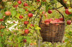 Apple harvest. Autumnal apple harvest, ripe red apples in a basket Stock Photos