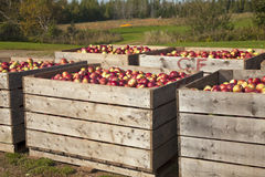 Apple Harvest Stock Photo