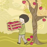 Apple harvest. Boy picking up apples on a windy day Royalty Free Stock Images