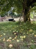 Apple Harvest. Apples cover the ground under an apple tree Stock Photos