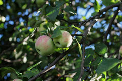 The Apple harvest. The apples on the tree, the Apple harvest, juicy fruit Royalty Free Stock Images