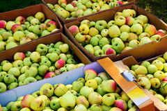 Apple harvest, boxes full of windfalls for the production of fru Royalty Free Stock Image